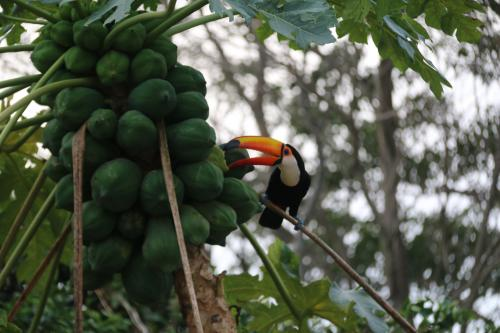 Photo of a toucan in Paraguay